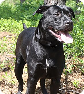 Labrador Retriever Mix Dog for adoption in Forked River, New Jersey - Cinder