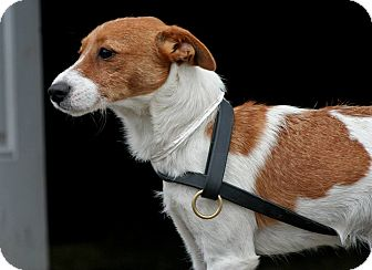 Jack Russell Terrier Puppy for adoption in Spring City, Pennsylvania - Kibble