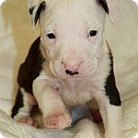 Adopt A Pet :: Cupid - Burr Ridge, IL