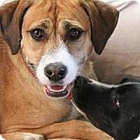 Adopt A Pet :: Lacey - Mebane, NC