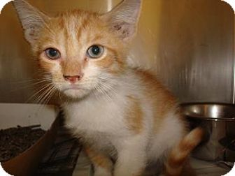 Domestic Shorthair Cat for adoption in Miami, Florida - Percy