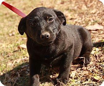 Labrador Retriever/Border Collie Mix Puppy for adoption in Plainfield, Connecticut - Macaroon (IN New England)