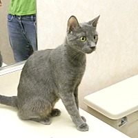 Domestic Shorthair Cat for adoption in Naples, Florida - Felicia