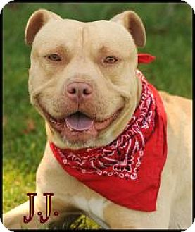American Staffordshire Terrier/Pit Bull Terrier Mix Dog for adoption in San Pedro, California - J.J.