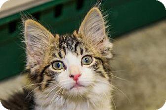 Domestic Mediumhair Kitten for adoption in Larned, Kansas - Callie