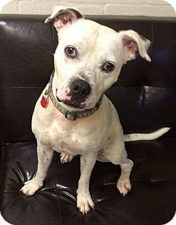 American Staffordshire Terrier Mix Dog for adoption in Ft Myers Beach, Florida - Cute noze!!!