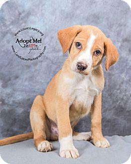 Boxer/Labrador Retriever Mix Puppy for adoption in Cincinnati, Ohio - Jackson
