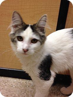 Domestic Mediumhair Kitten for adoption in Voorhees, New Jersey - Bella-PetSmart