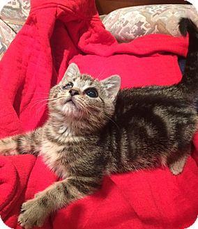 Domestic Shorthair Kitten for adoption in Bloomsburg, Pennsylvania - Magoo