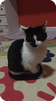 Domestic Shorthair Kitten for adoption in Cincinnati, Ohio - Elsa
