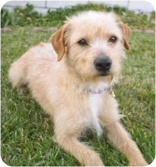Terrier (Unknown Type, Small) Mix Dog for adoption in Vista, California - Buddy