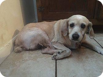 Cocker Spaniel Dog for adoption in Boerne, Texas - Sandy