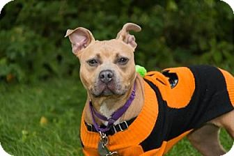 American Staffordshire Terrier Mix Dog for adoption in Lowell, Massachusetts - Blanche