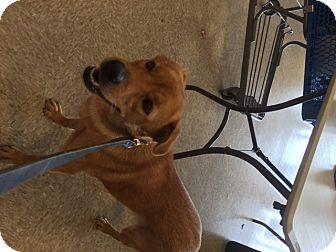 Labrador Retriever Mix Dog for adoption in Elyria, Ohio - Georgia Peaches