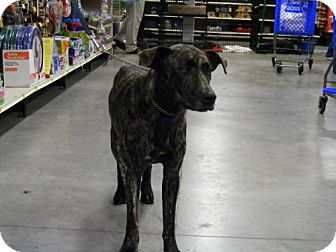 Catahoula Leopard Dog/Labrador Retriever Mix Dog for adoption in Melrose, Florida - Zenia