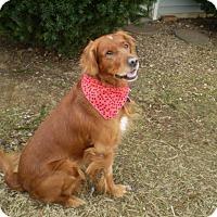 Adopt A Pet :: Hamish - St Louis, MO