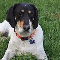 Coonhound Dog for adoption in Salt Lake City, Utah - Connie