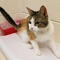 Domestic Shorthair/Domestic Shorthair Mix Cat for adoption in Anderson, Indiana - Cynthia