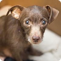 Adopt A Pet :: Aria - Millersville, MD