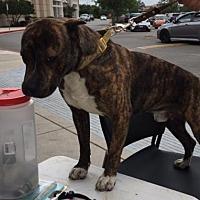 Adopt A Pet :: Phil - Pipe Creek, TX