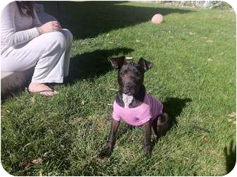 American Staffordshire Terrier/Pit Bull Terrier Mix Puppy for adoption in Lakewood, Colorado - Violet