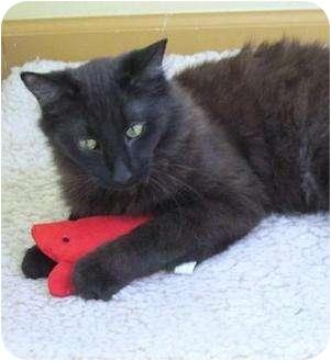 Havana Brown Kitten for adoption in Prescott, Arizona - Doodle Dandy