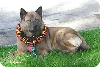 Akita/Chow Chow Mix Dog for adoption in Bellflower, California - Baby