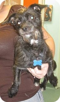Terrier (Unknown Type, Medium) Mix Dog for adoption in Westminster, California - Poppy