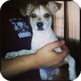 Chihuahua Puppy for adoption in Shawnee Mission, Kansas - Hoops