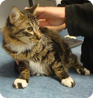 Domestic Shorthair Cat for adoption in Gainesville, Florida - Arnold
