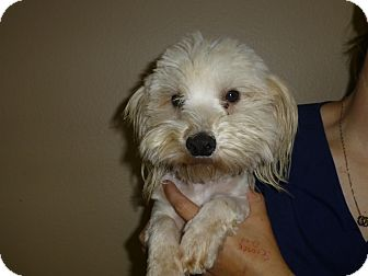 Poodle (Miniature)/Maltese Mix Dog for adoption in Oviedo, Florida - Mac