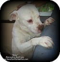 Bulldog Mix Dog for adoption in Eustis, Florida - Ivory