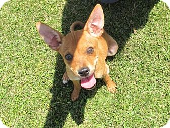Chihuahua Mix Puppy for adoption in Indio, California - Bambi