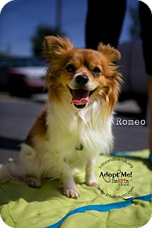 Papillon Dog for adoption in Burbank, California - Romeo