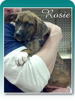 Boxer/Beagle Mix Puppy for adoption in Delaware, Ohio - Rosie