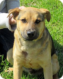 Black Mouth Cur/Shepherd (Unknown Type) Mix Puppy for adoption in Leland, Mississippi - DILLON