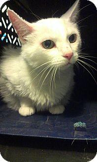 Domestic Mediumhair Cat for adoption in Muskegon, Michigan - Al Bino