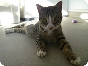 Domestic Shorthair Cat for adoption in Hamburg, New York - Bo