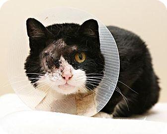 Domestic Shorthair Cat for adoption in Bellingham, Washington - Elle