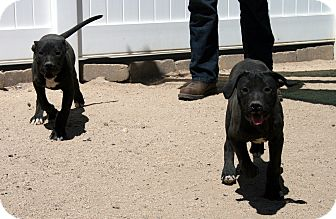 Pit Bull Terrier Mix Puppy for adoption in Yucca Valley, California - Sammy and Buck