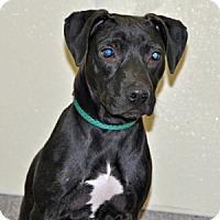 Adopt A Pet :: Guster - Port Washington, NY