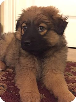 Keeshond/Shepherd (Unknown Type) Mix Puppy for adoption in Olive Branch, Mississippi - Ella-Box Pup