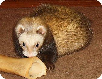 Ferret for adoption in Indianapolis, Indiana - Meeko