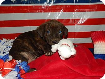 Boxer/Australian Shepherd Mix Puppy for adoption in Old Fort, North Carolina - Brutus