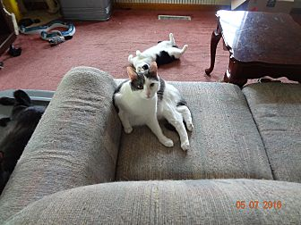 Domestic Shorthair Kitten for adoption in Saint Albans, West Virginia - Alban