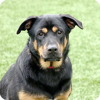Rottweiler/Border Collie Mix Dog for adoption in Columbia, Illinois - Bart