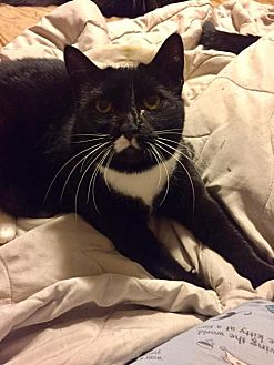 Domestic Shorthair Cat for adoption in Napa, California - Missy