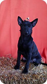 Shepherd (Unknown Type) Mix Puppy for adoption in East Sparta, Ohio - Glinda