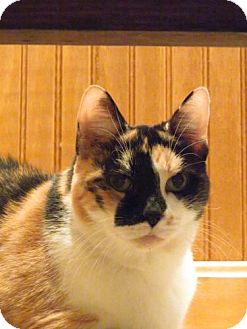 Domestic Shorthair Cat for adoption in Avon, Ohio - Melina