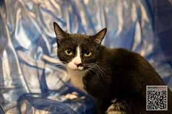 Domestic Shorthair/Domestic Shorthair Mix Cat for adoption in Anderson, Indiana - Sammy lynn